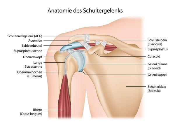 Anatomie des Schultergelenks